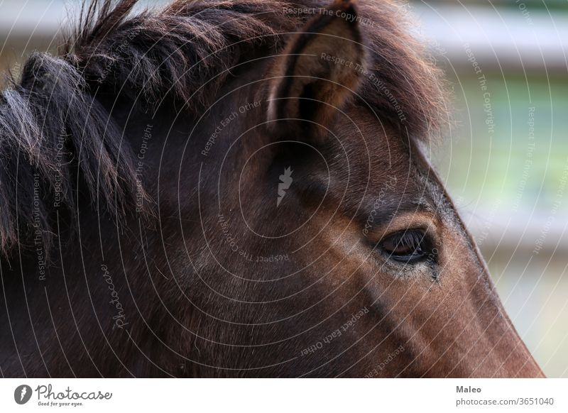 A close up of a horse head animal closeup eye close-up farm portrait mammal mane brown nature black mouth equestrian fur nose pet beautiful hair riding bridle