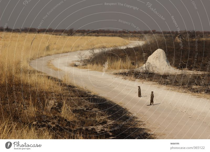 Zebra mongoose on fire station Earth Fire Drought Grass Etosha pan Wild animal zebra mongoose 2 Animal Observe Stand Brown Yellow White Bravery Watchfulness