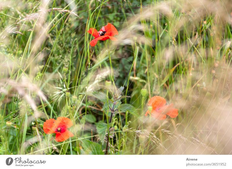 for three poppy days Poppy flowers Meadow Grass Meadow flower Red green Optimism Joie de vivre (Vitality) Nature Blossoming natural Growth Plant Grain stalks