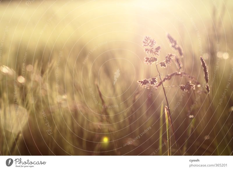 Summer Warmth II Nature Beautiful weather Drought Plant Grass Wild plant Meadow Field Touch Blossoming To enjoy Illuminate Faded To dry up Growth Hot Bright