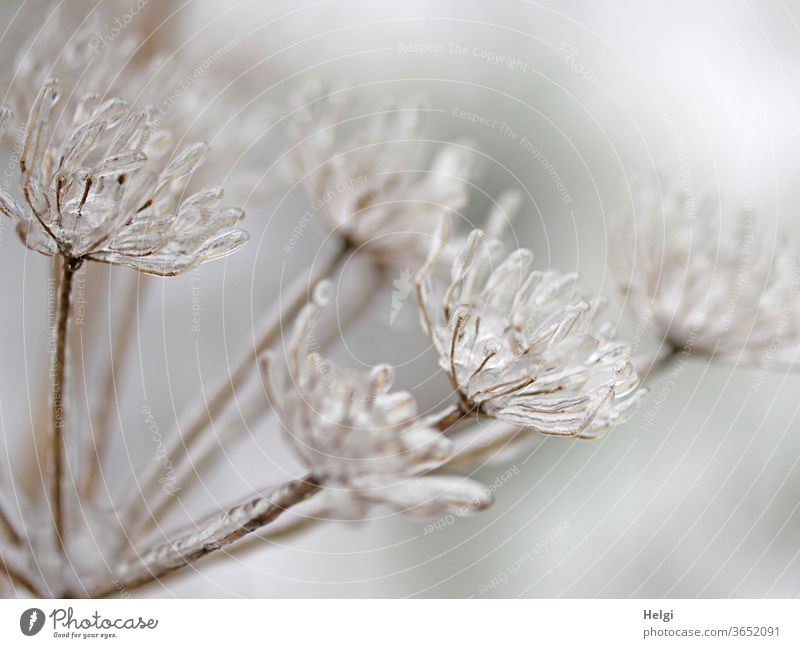 ice-cold - withered flower umbels enclosed by freezing rain Ice ice crystals Plant Shriveled Flower umbel chill Winter Frost Exterior shot Deserted Nature