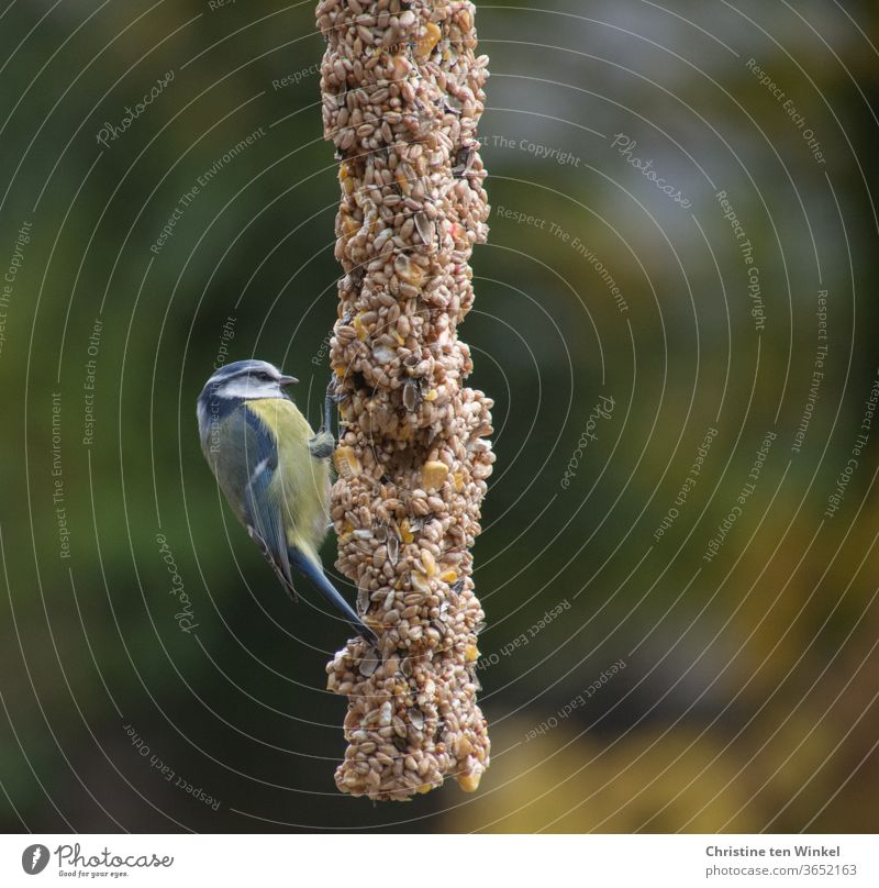 The little blue tit (Cyanistes caeruleus) was hungry and was delighted with the rich selection of seeds on the feeding pole Tit mouse songbird bird feeding
