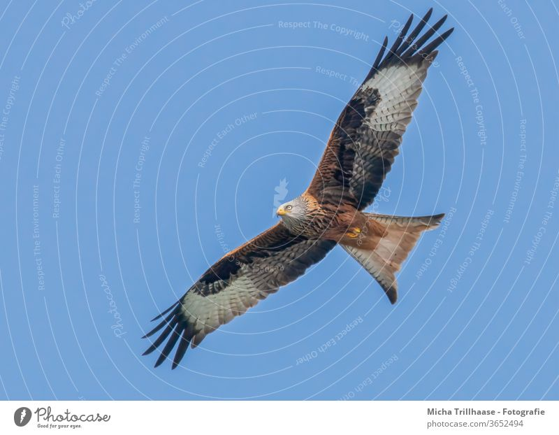 Red Kite in flight Red kite milvus milvus Bird in flight Bird of prey Head Beak Eyes Grand piano Wing span feathers plumage flapping Sky sunshine Sun birds