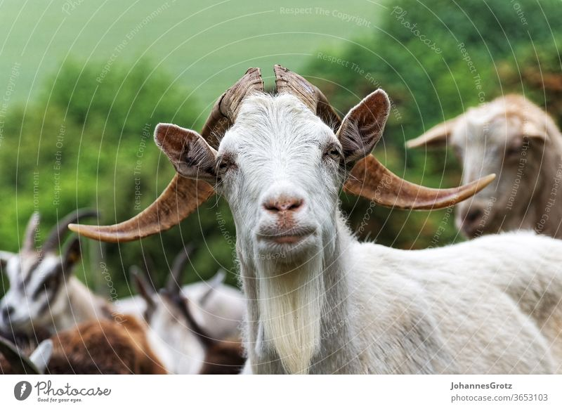 Goat on a pasture looks directly into the camera goat Buck chief leader sovereign Obstinate portrait Funny wild animals Herd Nature Wild horns Farm mountain