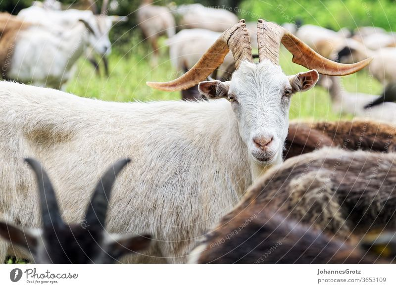 Goat on a pasture looks directly into the camera goat Buck sovereign Obstinate portrait Funny wild animals Herd Sweet Nature Wild horns Brown Farm mountain Pelt