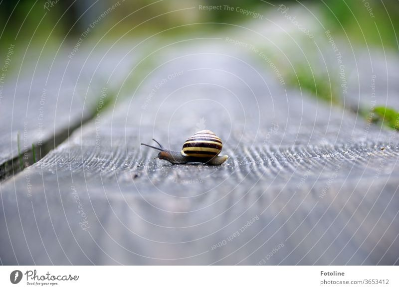 Snail mail - or a small snail runs over a wooden plank and carries its beautiful striped house to the show. Crumpet Snail shell Animal Nature Close-up