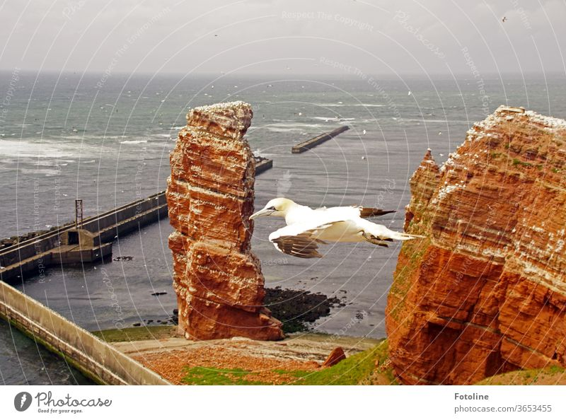 So free! - or a gannet floats past Tall Anna on Helgoland in search of his beloved. Northern gannet birds Nature Animal Colour photo Exterior shot Day