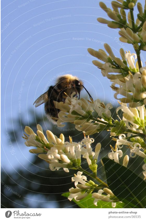 Between heaven and earth Insect Bumble bee Hymenoptera flower visitors pollination privet blossom