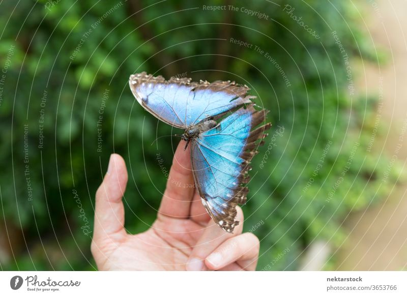 Blue butterfly on the fingertips. Close up. hand fingers shallow depth of field close up holding unrecognizable person human body part animal insect blue
