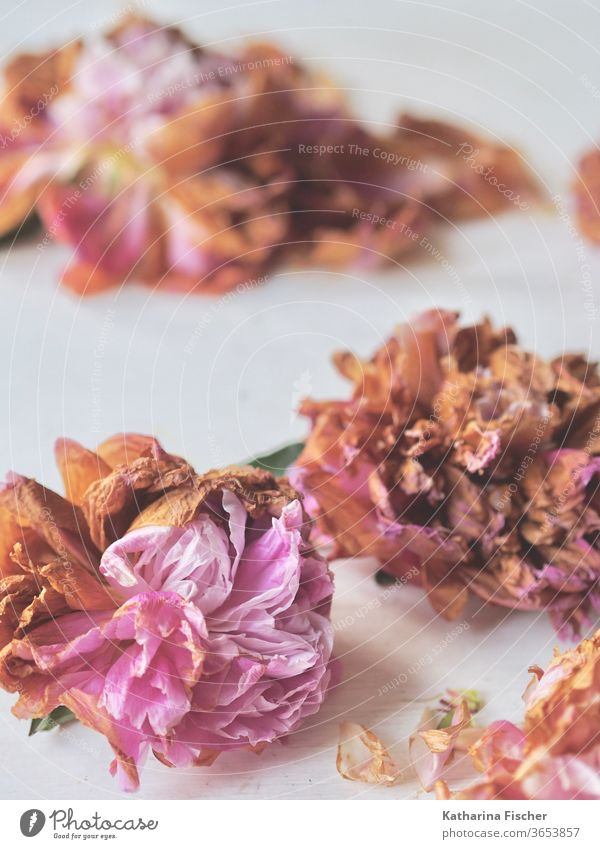 rosy peonies wither Peonies Pink flowers bleed Close-up Nature Colour photo Detail Summer spring Blossoming Fragrance Blossom leave Day already Interior shot