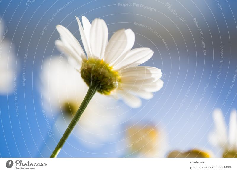 Margarite in sunlight Summer Summery Blue sky margarite White Yellow Flower meadow flowers flower stem Blossoming Sunlight Style Design Nature Beautiful weather