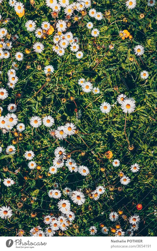 Daisies in the grass, flatlay daisies flat lay Nature Flower Green Colour Floral Flower meadow Natural flowers Spring spring Meadow Summer Blossoming Garden