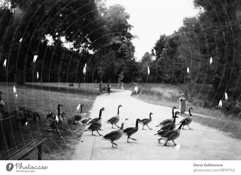 Birds crossing the road in the park in candles Double exposure Black & white photo Film 35mm Analog 35mm film film photography analog photography birds Crossing