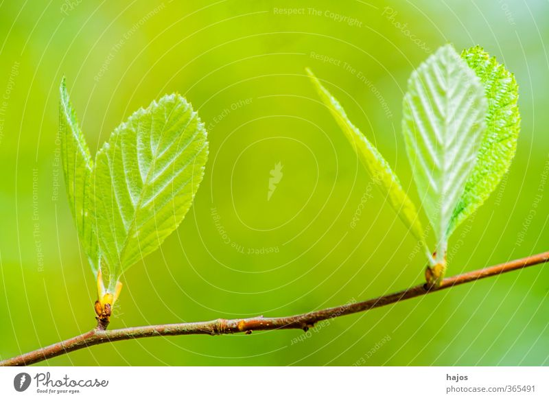 Tree bud Plant Spring Leaf Forest Growth Green Impulsion sprout Instinct shot youthful drift drive sb./sth. Deciduous tree May Colour photo Exterior shot