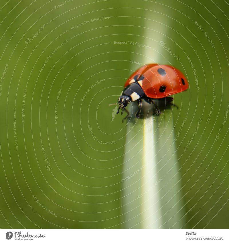 transverse and longitudinal Nature Summer Grass Beetle Ladybird Crawl Natural Beautiful Green Red Summer feeling Happy Ease Across Stop Good luck charm