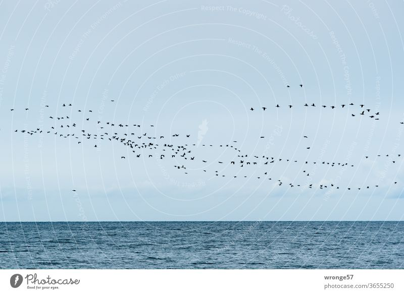 Flock of birds over the Baltic Sea Sky Blue sky Flying boundless Horizon Ocean Water Waves Exterior shot Deserted Colour photo Nature Day Animal Copy Space top