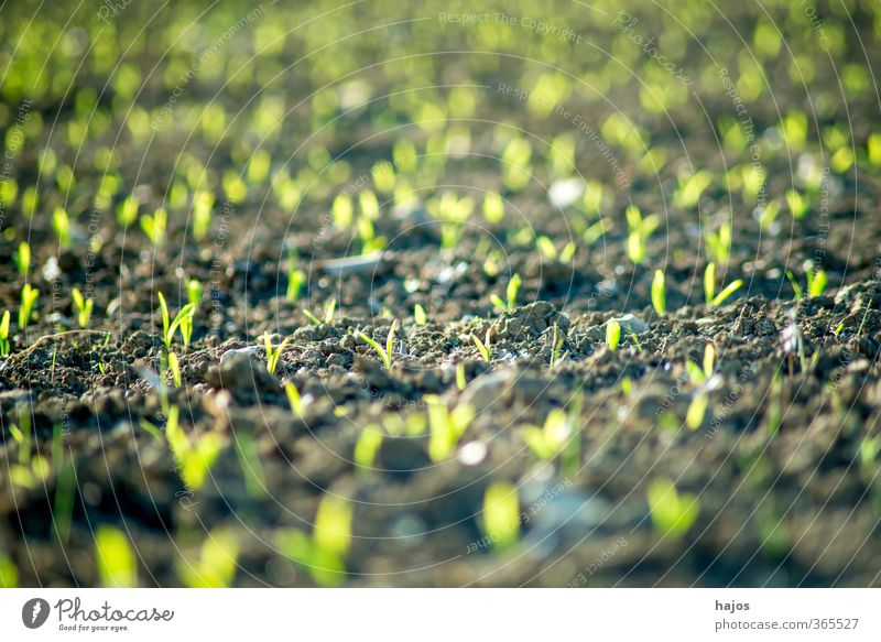Maize field with young plants Food Grain Agriculture Forestry Plant Spring Field Green Plantlet Sapling extension series Background picture blurred Zea mays