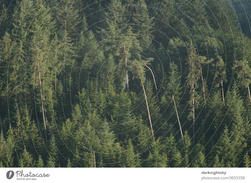 mixed forest with pine and spruce Forest Exterior shot Nature Colour photo tree Deserted Environment Climate change Plant Landscape Forestry Day Agriculture