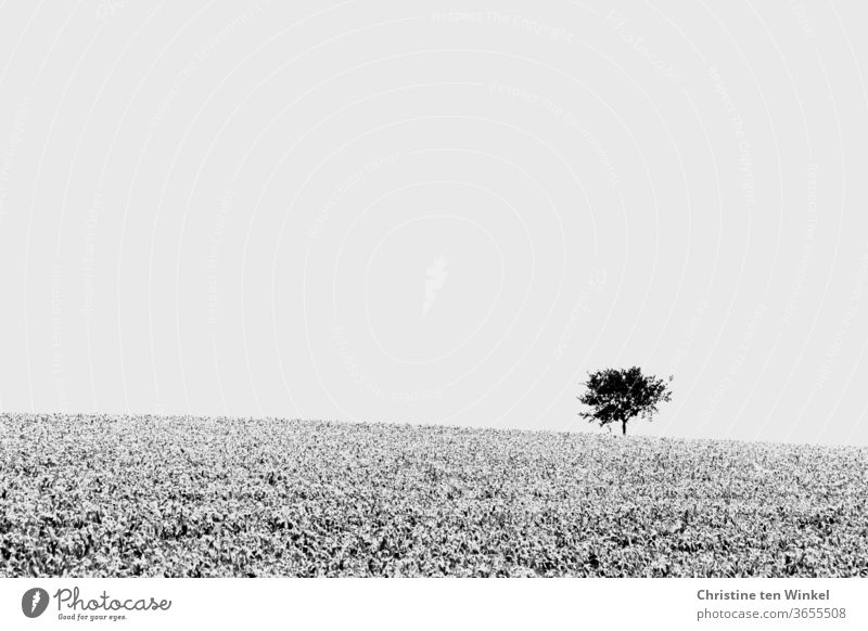 A lonely tree stands in the distance on the bright horizon, a field stretches out in front of it. Black and white, minimalist single tree Horizon Field