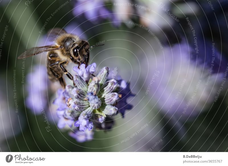 Lavender is like a magnet for the tirelessly collecting bees. Bee amass insects Insect repellent die of insects Colour photo Macro (Extreme close-up)