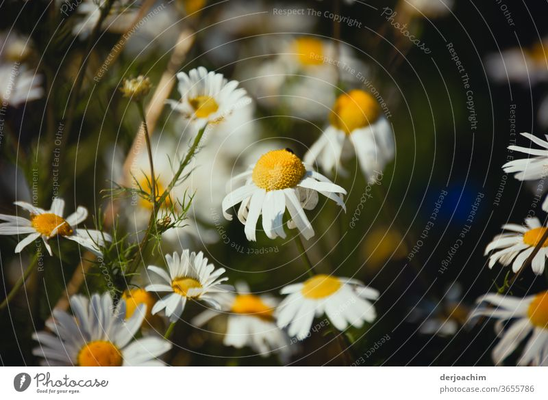 Daisies defoliate. Some of the leaves have fallen off. marguerites Plant Nature Flower Green White pretty naturally Blossom leave Summer Fresh Close-up Floral