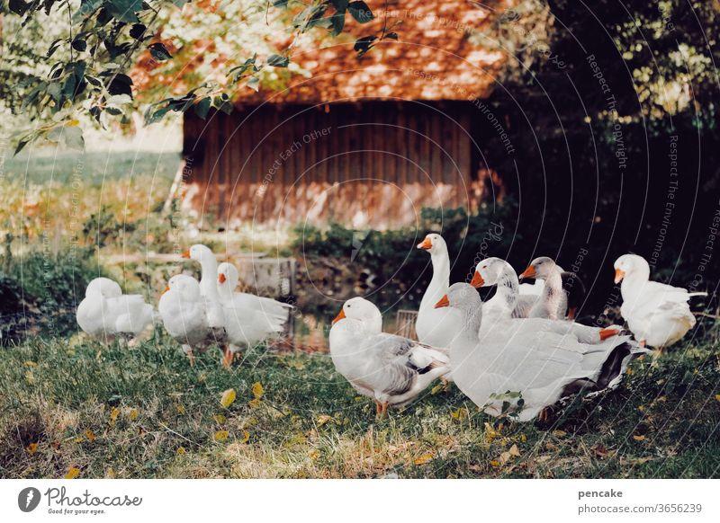einen sommer lang Federvieh Gans Gänse Herde Sommer Bauernhof Vergangenheit Hütte warm Gruppe Weihnachtsgans Schatten Lager Nutztiere