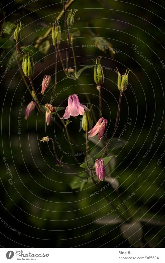 columbine Spring Summer Plant Flower Blossom Blossoming Esthetic Pink Picturesque Seed Colour photo Deserted Day Shallow depth of field