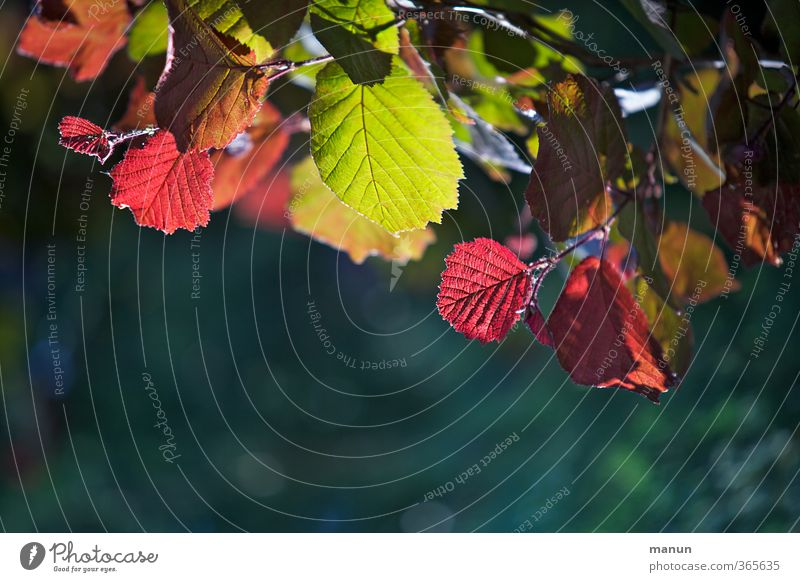 Nature Green Tree Red Leaf Autumn Spring Natural Illuminate Twigs and branches Hazelnut leaf