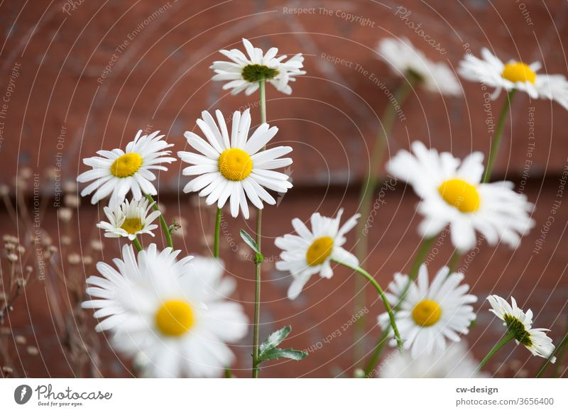 Daisies in front of wooden hut Daisy flowers Summer spring White Blossom leave Nature Plant Floral background Garden Daisy Family Fresh bleed romantic already