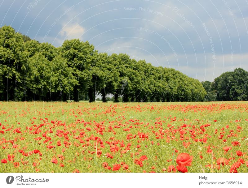 Mo(h)ntag - lots of corn poppies on a field next to a row of trees with cloudy sky Poppy Poppy field Corn poppy flowers bleed Poppy blossom Summer Avenue