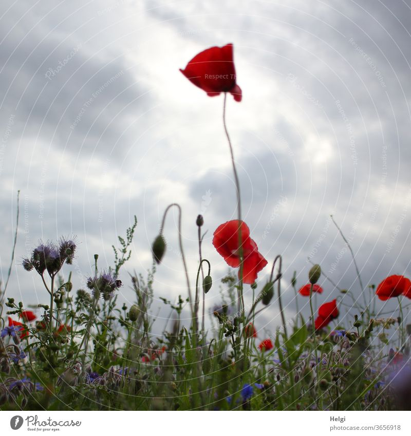 Mo(h)ntag - poppies on a blooming meadow in the evening light in front of a cloudy sky Poppy poppy flower Poppy blossom flowers bleed Flowering meadow phacelia