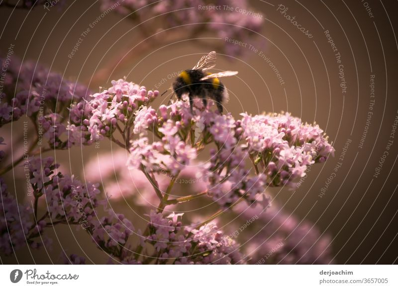 Busily searching for pollen. A bumblebee sits on a pink flowering shrub with a dark background. Bee Blossom Insect Plant Honey Pollen Animal Nature Nectar