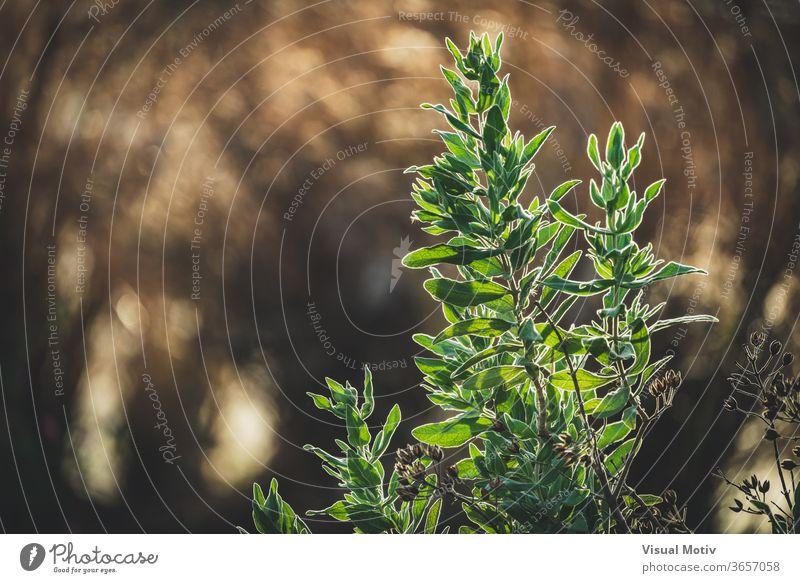 Evergreen leaves of Cistus albidus, also known as Rock Rose plant evergreen rock-rose leaf garden summer sunny nature shrub botany vegetate organic season