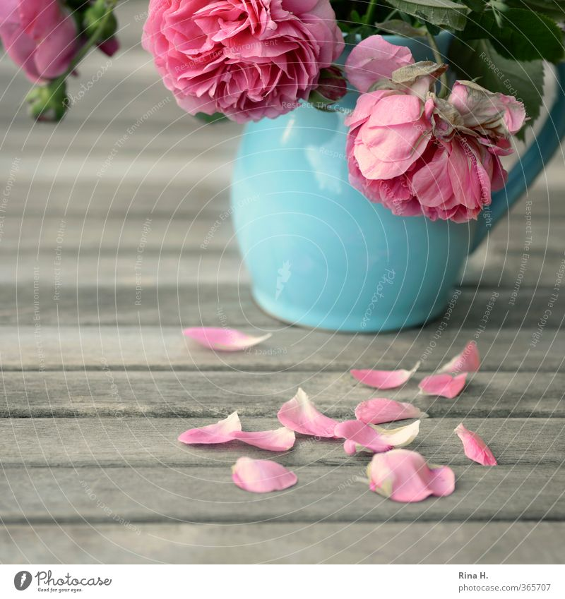 Blue Summer Sadness Pink Transience Blossoming Grief Rose Pain Still Life Vase Faded Rose leaves Garden table