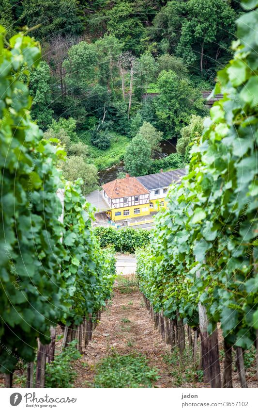steep slope. Vine Vineyard Wine growing Exterior shot Plant Agricultural crop green Day Nature Winery Landscape Summer Beautiful weather