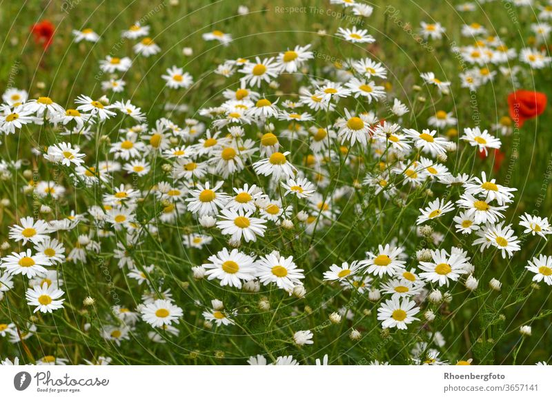 flowering chamomile at the edge of the field Chamomile flowers Field Grass grasses Magyarites Daisy poppies Nature Landscape Summer wild flowers Tea Drinking