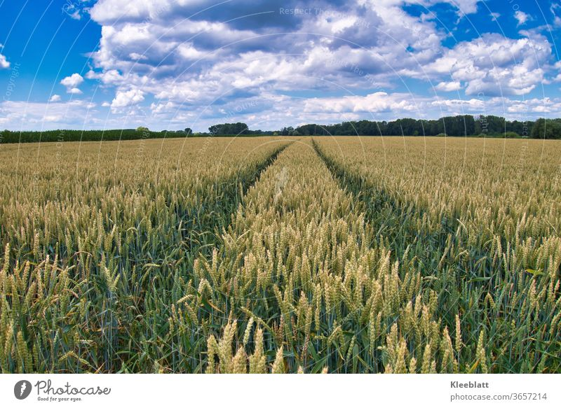 Lane in a cornfield with blue and white sky Wheatfield Agriculture Organic farming Exterior shot Field Deserted Grain Summer Nature Agricultural crop