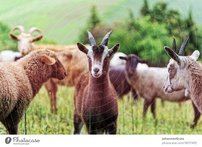Goat on a pasture in the middle of a herd looks into the camera goat sovereign Obstinate portrait Funny wild animals Herd Sweet Cute Nature Wild horns Brown