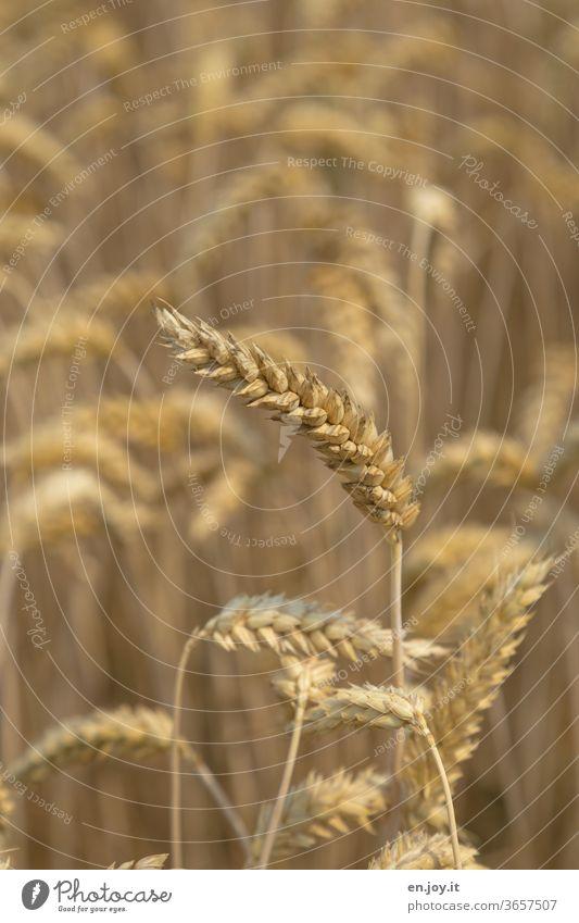 Wheat ear in the wheat field spike Wheatfield Grain Grain field Field Agriculture Agricultural crop Ear of corn Cornfield Growth grain Nutrition ecologic Food