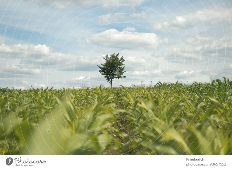 A tree on the horizon behind the cornfield Nature Exterior shot Landscape Environment Sky natural Field Day Agricultural crop green Agriculture Summer