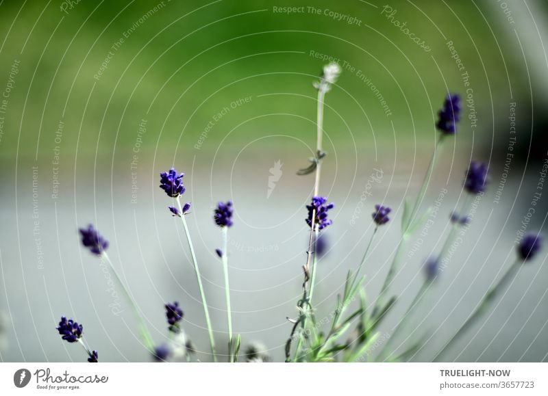 Some small lavender flowers in front of a blurred grey garden path and meadow green Lavender Violet Plant Summer Close-up bleed Blossoming