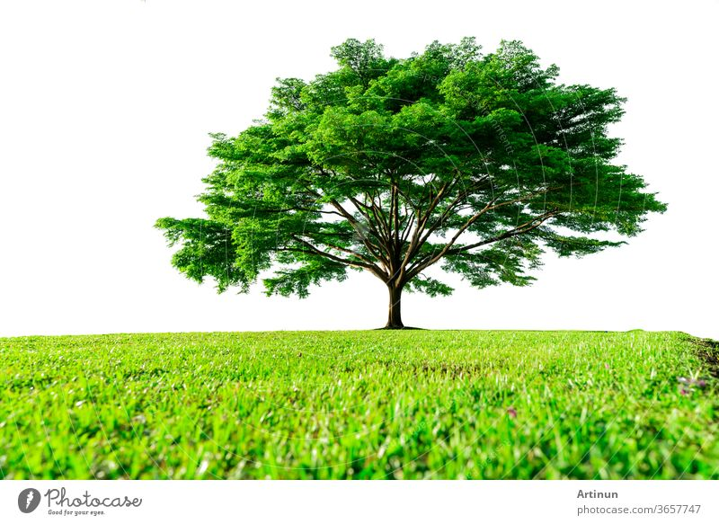 Big green tree with beautiful branches and green grass field isolated on white background. Lawn in garden on summer. Sunshine to big tree on green grass land. Nature landscape. Park decoration.