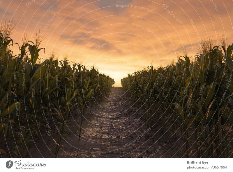 Path between two corn fields in the evening sun 3D agriculturally Agriculture backgrounds Cereal Maize Harvest civilized Environment Farm Feeding Field foliage
