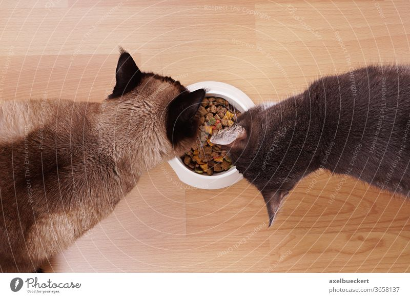 cats with feeding bowl dry food kibble eat eating hungry kitten kitty pet domestic house cat feline meal fodder animal devour two above top high angle view