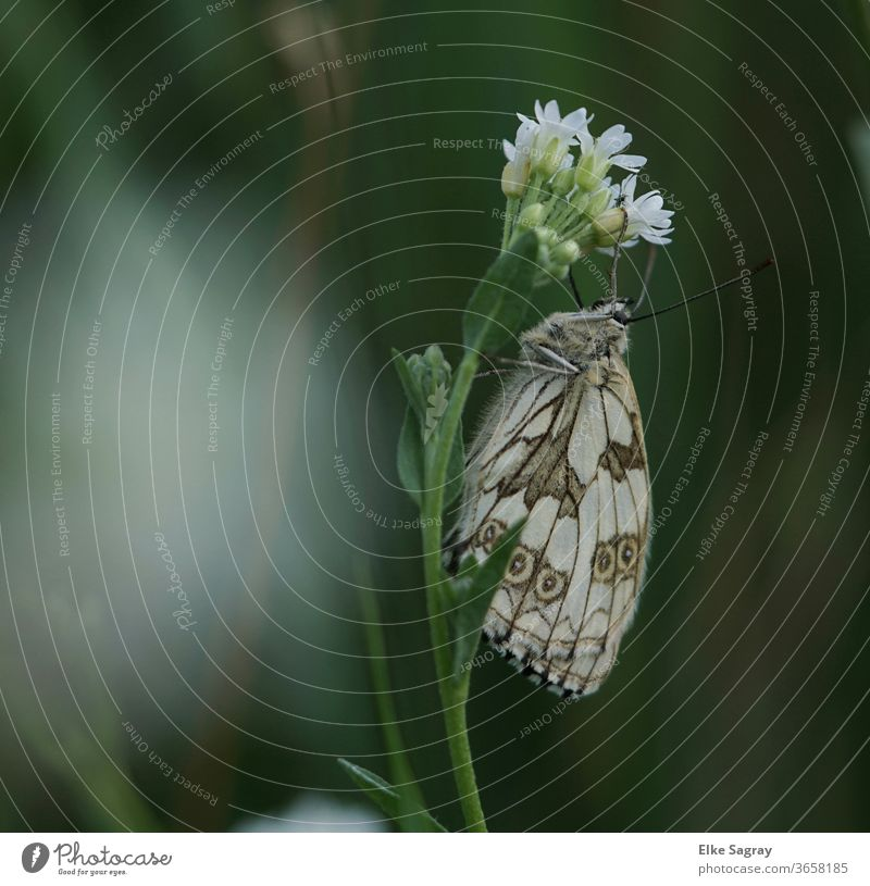 Mother-of-pearl butterfly Insect Butterfly Macro (Extreme close-up) Summer Close-up green Grand piano Nature Plant