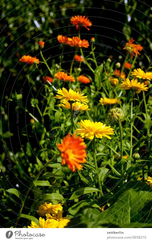 calendula officinalis Evening flash flowers blossom bleed conceit Relaxation holidays Garden allotment Garden allotments Deserted Nature Plant tranquillity