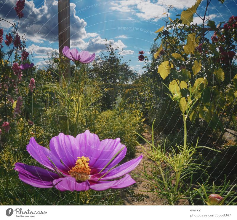 Sample flower Cosmea flowers bleed Blossoming Summer Deserted Bright Colours luminescent Exterior shot Shallow depth of field Plant Nature Close-up Detail