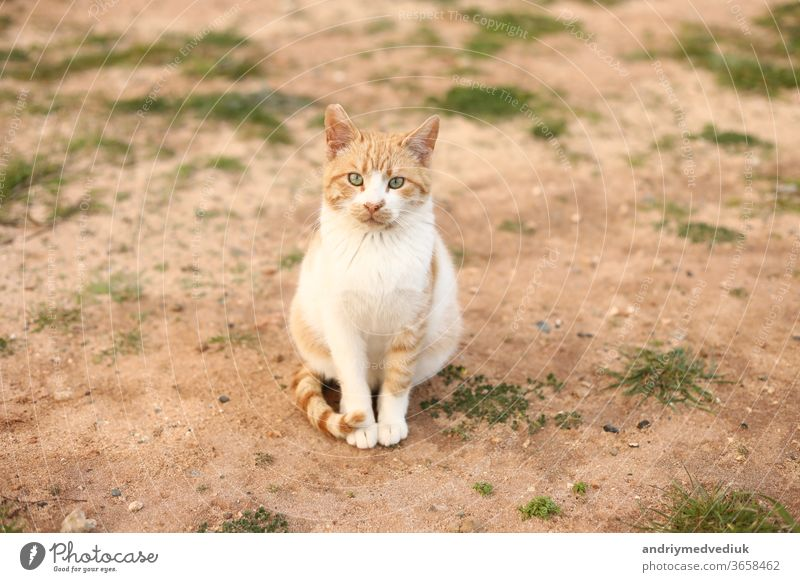 portrait of a cute red and white cat outdoors looking into the camera on spring day. selective focus. copy space. pet nature grass animal young sand kitten wild