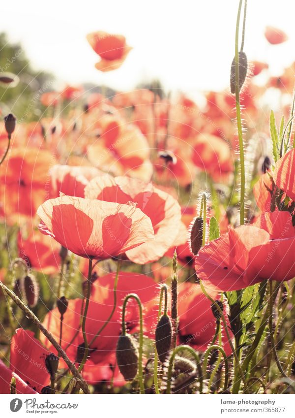 Plant Red Flower Meadow Bright Field Poppy Poppy field Poppy blossom Corn poppy