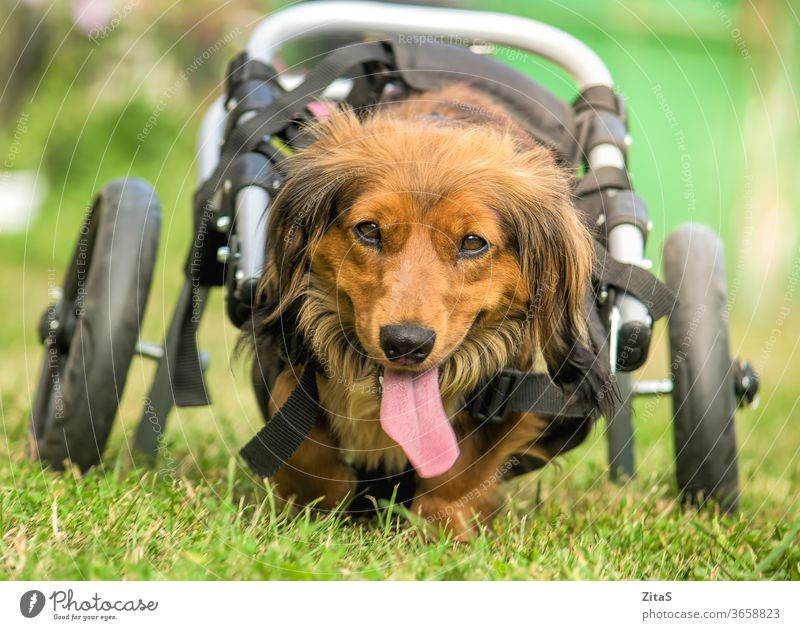 Disabled dachshund in a wheelchair running outdoors dog sausage dog cute long-haired fur furry disabled paralyzed nature happy pet animal disability canine